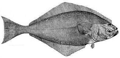 Sketch of Halibut