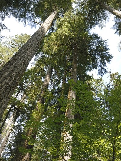 Some of the large trees found in the Hoh Rain Forest