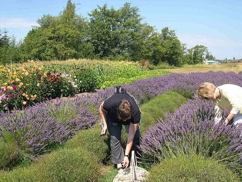 Lavender at Sequim in Washington State