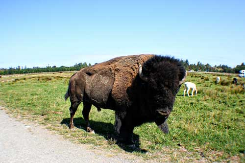 An American Bison at the Sequim Game Farm