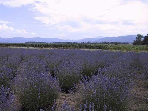 Lavender fields at Sequim, WA